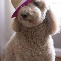 Daisy the Goldendoodle wearing a straw hat with a pink ribbon and flower around it. She was intuitive.
